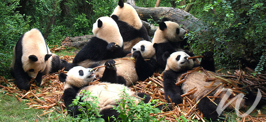 Giant Pandas, travel style