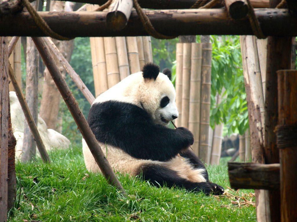 Panda, Chengdu, adventures through the himilayas