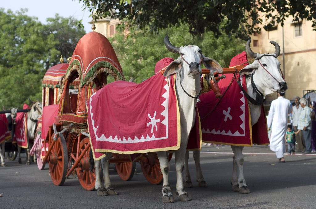 Traditional bullock cart, Jaipur