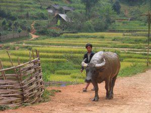 Local farmer and his buffalo, strolling through sapa