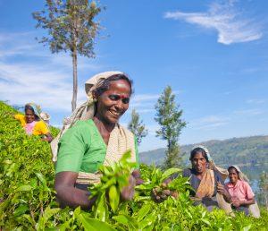 Women Tea Pickers in Sri Lanka, focus on sri lanka