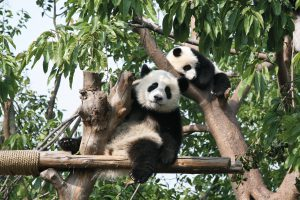 Giant Pandas, China, multi-country tours
