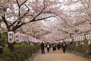 Enveloped by blossoms, Kamarkura, cherry blossoms