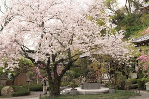 Cherry Blossom, Kamarkura