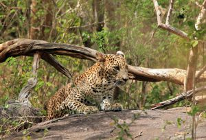 Leopard at Yala National Park, discover sri lanka