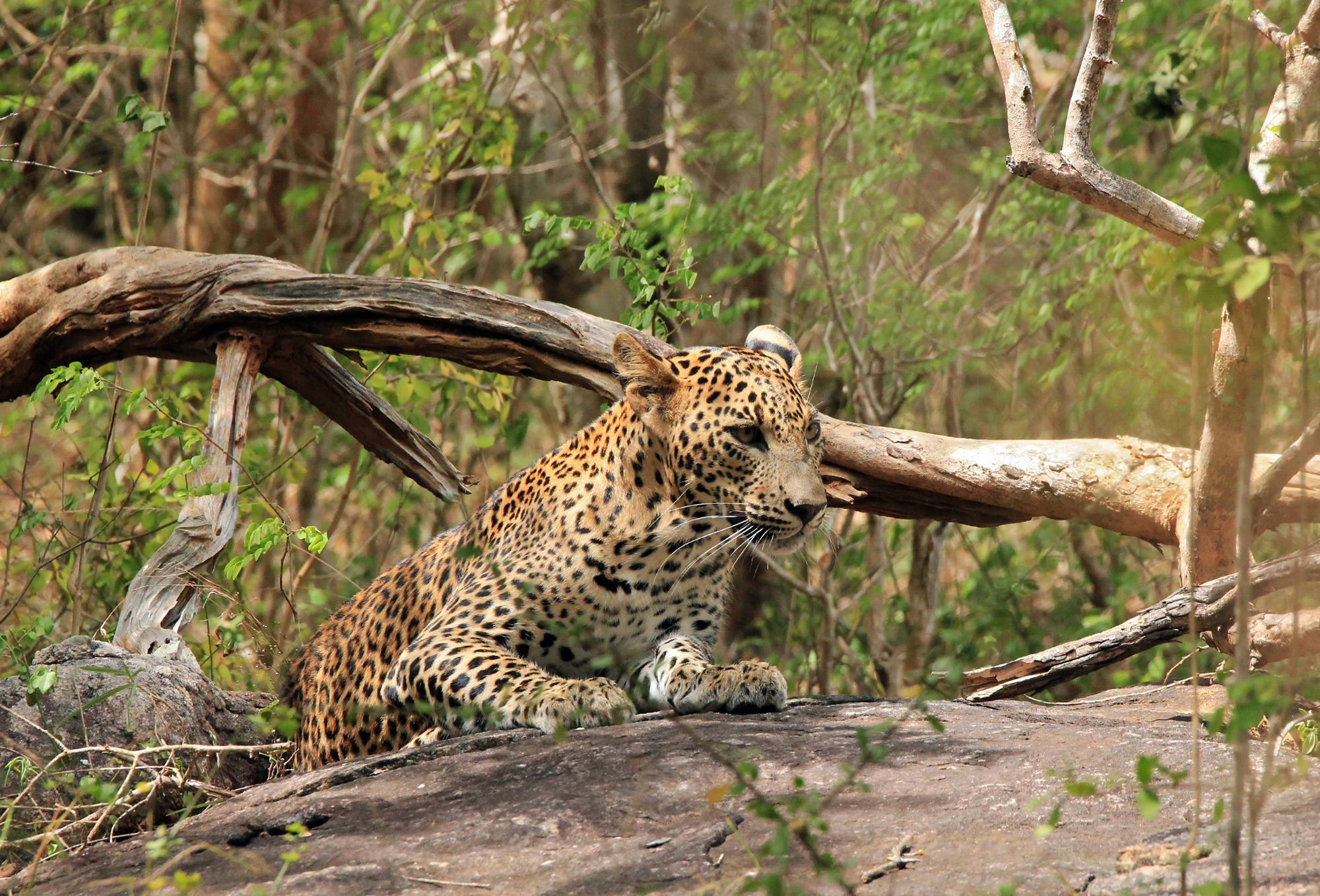 Leopard at Yala National Park, discover sri lanka