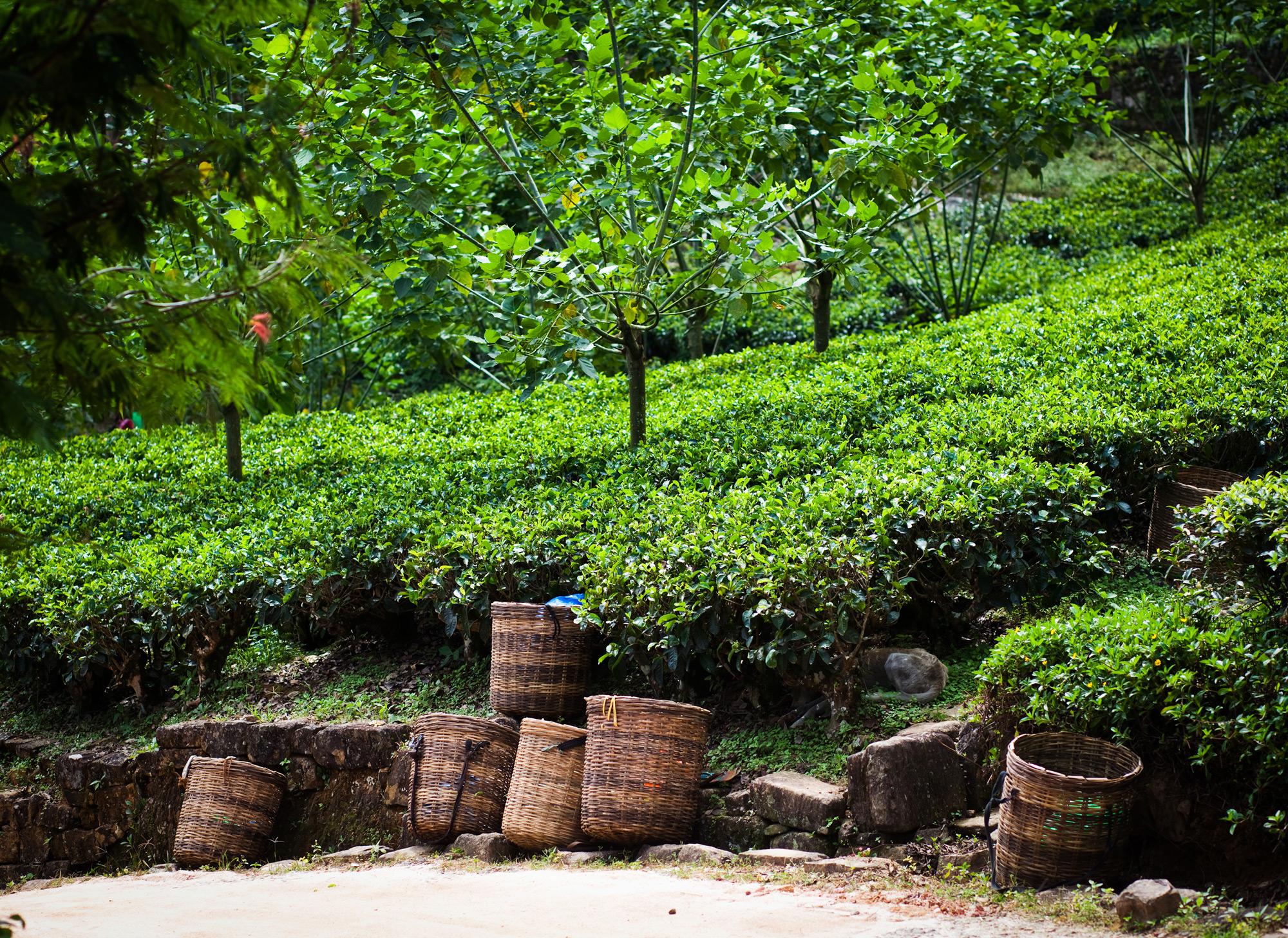 Tea Plantation Nuwara Eliya, discover sri lanka