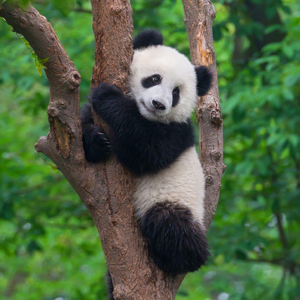 Panda in tree, china