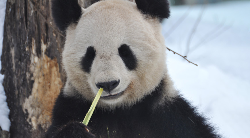Giant Panda, China, asia winter