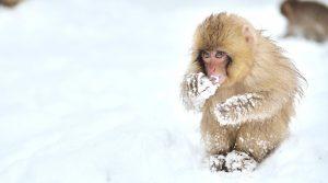 Snow Monkey, Japan, asia winter