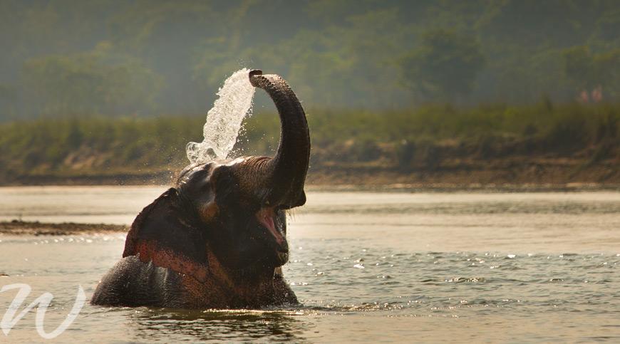 Elephant bathing in Chitwan, wildlife in asia