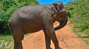elephants yala national park, wildlife in asia