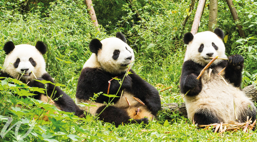 Giant Pandas of Sichuan Province, China, wildlife in asia