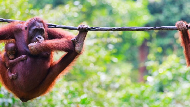 Orangutans in Borneo, wildlife in Asia
