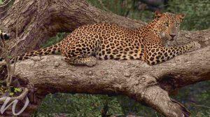 Leopards in Yala National Park, wildlife in asia