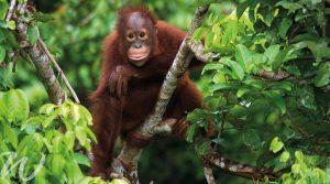 Wise and adorable orangutans of Borneo, wildlife in Asia