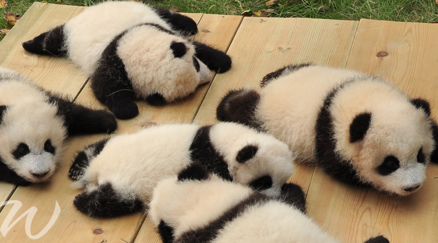 baby pandas in china, wildlife in Asia