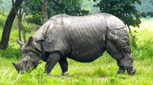 Rare rhinos in Nepal, wildlife in Asia