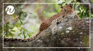 Leopard on the prowl in Yala National Park