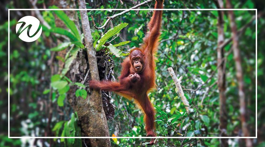 Search for orangutans