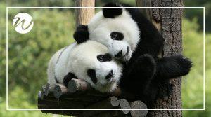 Playful giant pandas