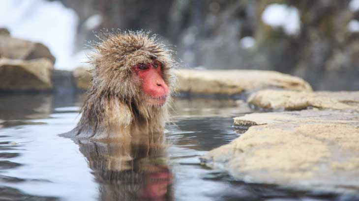 SNOW MONKEYS, JIGOKUDANI MONKEY PARK