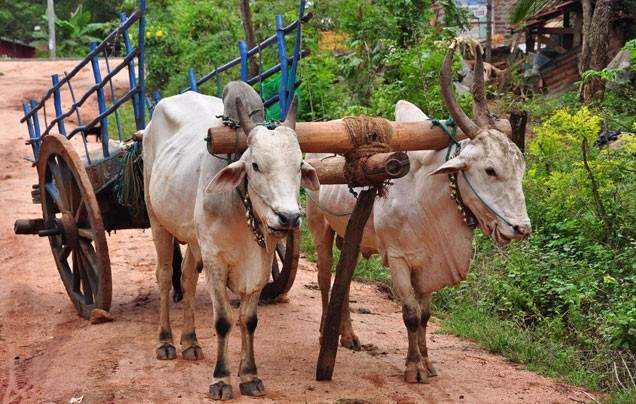 DAY 10: RURAL RAJASTHAN BY BULLOCK CART