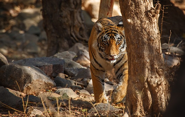 DAYS 15-16: RANTHAMBORE