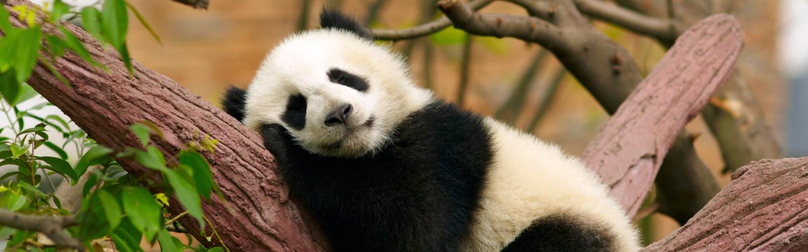 Chongqing Zoo & Panda House   Chongqing, China   Wendy Wu Tours